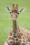Young Reticulated Giraffe Stock Photo