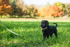 Young retriever puppy on a leash Stock Photography