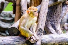 Young Rhesus macaque. Stock Photos