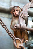 Young Rhesus macaque monkey Stock Photo
