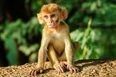A young Rhesus Macaque monkey Royalty Free Stock Photo