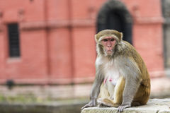Young rhesus macaque monkey at Swayambhunath temple, Kathmandu v Royalty Free Stock Photo
