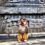 Young rhesus macaque monkey Royalty Free Stock Photo