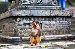 Young rhesus macaque monkey Royalty Free Stock Image