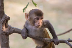 Young rhesus macaque playing in a tree at Tughlaqabad Fort, Delh Royalty Free Stock Photos