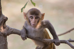 Young rhesus macaque playing in a tree at Tughlaqabad Fort, Delh Stock Photo