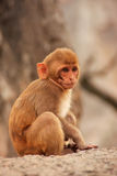 Young Rhesus macaque sitting near Galta Temple in Jaipur, Rajast Stock Images