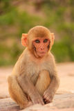 Young Rhesus macaque sitting near Galta Temple in Jaipur, Rajast Royalty Free Stock Photo