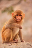 Young Rhesus macaque sitting near Galta Temple in Jaipur, Rajast Royalty Free Stock Photography