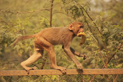 Young Rhesus Macaque walking on a fence, New Delhi Stock Photo