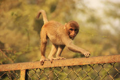 Young Rhesus Macaque walking on a fence, New Delhi Royalty Free Stock Photo