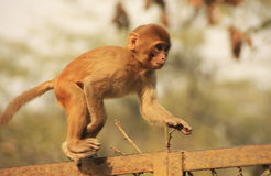 Young Rhesus Macaque walking on a fence, New Delhi Stock Image