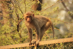 Young Rhesus Macaque walking on a fence, New Delhi Royalty Free Stock Images