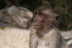 Young rhesus monkey Royalty Free Stock Photography