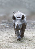 Young rhino Stock Photography