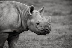 Young Rhino Royalty Free Stock Image