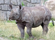 Young rhino, Diceros bicornis. Detail of the young rhino bicornis Stock Photo