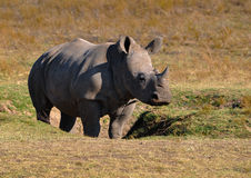 Young Rhino in grassland Stock Images