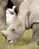 Young Rhino Grazing. A young White Rhinocores grazes on the succulent grass near his mother royalty free stock photography