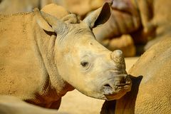 Young rhino , her mother. Young rhinoceros from the zoo in the UK. It is large mammals with a massive physique, short limbs, three-fingered, ending hooves. They royalty free stock photo
