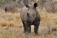 Young rhino looking into camera. Photo taken in Letaba part of Kruger national park in South Africa stock photos