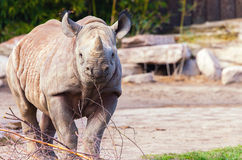 A young rhino looks to the camera Stock Images