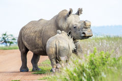Young Rhino with mother Royalty Free Stock Photo