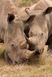 Young Rhino Pair Stock Image