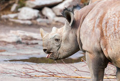 Young rhino protrudes his tongue. A young rhino protrudes his tongue royalty free stock photos