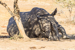 Young Rhino Resting Tree Wildlife. Close-up photo image of young White Rhino about three years old resting sleeping under a small acacia thorn tree at dry Stock Image