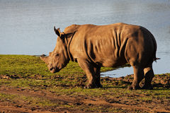 Young rhino on the waterfront Stock Photos