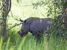 Young rhino at Ziwa Rhino Sanctuary Stock Images