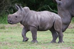 Young Rhinoceros Royalty Free Stock Images