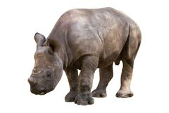 Young rhinoceros. Isolated on a white background stock image