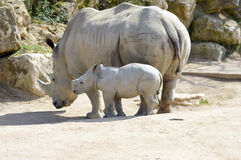 Young rhinoceros and mum Royalty Free Stock Image