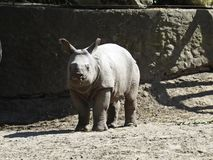 Young Rhinoceros Rhino Animal Standing and Looking on Sunny Day stock images