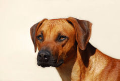 Rhodesian Ridgeback male dog stock image