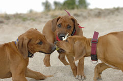 Young rhodesian ridgebacks Royalty Free Stock Photo
