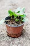Young rhubarb plants Stock Photo