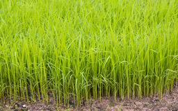 Young rice Royalty Free Stock Image
