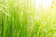 Young rice. Stock Photography