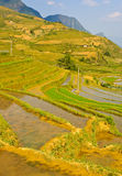 Young rice crops Stock Images