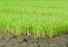 Young rice cultivate . Royalty Free Stock Image