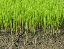 Young rice cultivate . Royalty Free Stock Photos