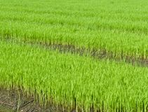 Young rice cultivate . Stock Image