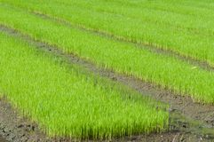 Young rice cultivate . Stock Photos