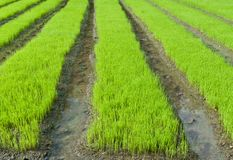 Young rice cultivate . Royalty Free Stock Photography