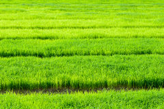 Young rice field Stock Photos