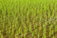 Young rice field in close-up Stock Photos