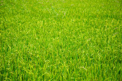 Young rice in the field Stock Images